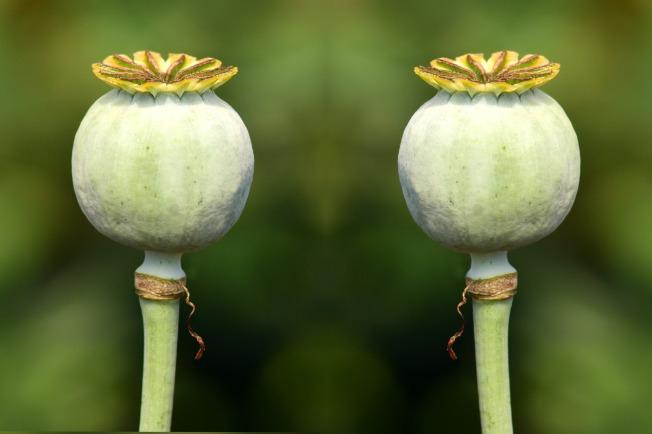 poppy-capsules-2492015_1920